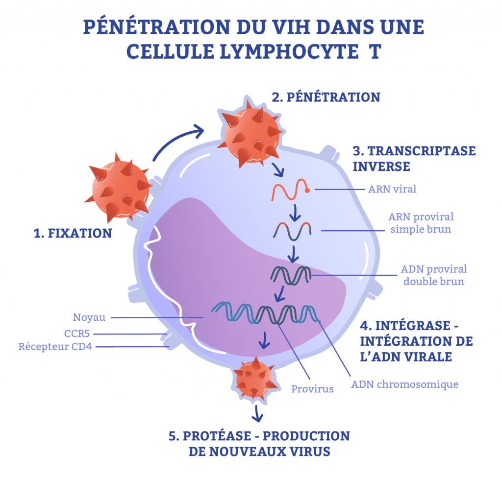pénétration du vih dans une cellule lymphocyte t